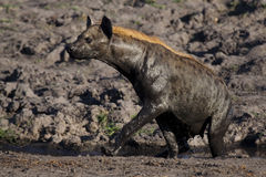 Hyena mudbathing, Botswana Stock Photo