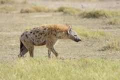 Hyena in National park of Kenya Stock Photography