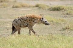 Hyena in National park of Kenya Stock Photography
