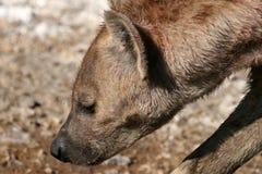Hyena - Ngorongoro Crater, Tanzania, Africa Stock Photos