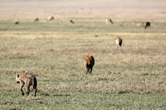 Hyena - Ngorongoro Crater, Tanzania, Africa Royalty Free Stock Images