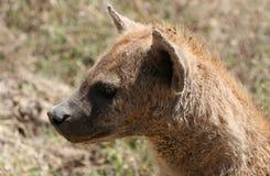 Hyena - Ngorongoro Crater, Tanzania, Africa Stock Images