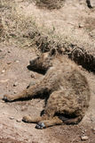 Hyena - Ngorongoro Crater, Tanzania, Africa Royalty Free Stock Photos