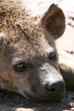 Hyena - Ngorongoro Crater, Tanzania, Africa Stock Image