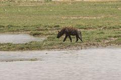 Hyena in Ngorongoro-krater Royalty-vrije Stock Afbeeldingen