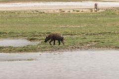 Hyena in Ngorongoro-krater Stock Fotografie