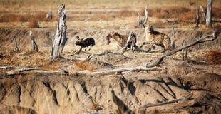 Hyena och lycaon Fotografering för Bildbyråer
