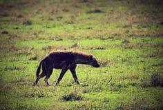 Hyena op savanne in Ngorongoro, Tanzania, Afrika Stock Afbeelding