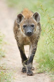 Hyena. A Hyena out for an early morning patrol stock images