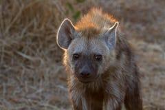 Hyena på den Kruger nationalparken Royaltyfria Foton