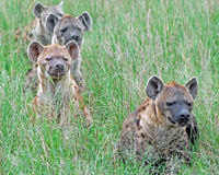 Hyena Pack. A pack of Spotted Hyenas are lined up for the hunt Royalty Free Stock Photos