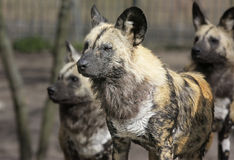 Hyena Pack. Menacing looking Hyena Pack all looking into one direction for pray Stock Photos
