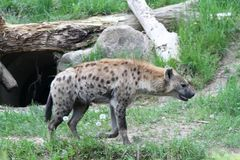 Hyena on a park Stock Photography
