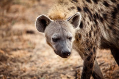 Hyena portrait Stock Images