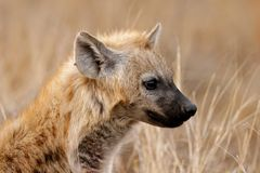 Hyena portrait Royalty Free Stock Images