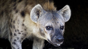 Hyena portrait royalty free stock photos
