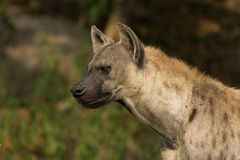Hyena. Portrait of a spotted hyena head Stock Images