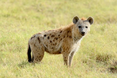 Hyena. Portrait of spotted hyena in National park of Kenya stock image