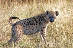 Kruger Hyena. Hyena posed in Kruger National Park, South Africa Stock Images