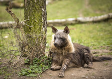 Hyena in the Prague zoo, Czech Republic. Stock Images