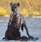 Hyena with prey Stock Photos