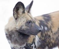 Hyena Profile. Profile of Hyena looking sideways isolated on white royalty free stock photography