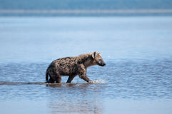 Hyena on the prowl. A spotted Hyena trawls the shallows of Lake Nakuru, Kenya for unwary Flamingo prey stock photos