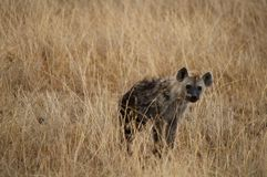 Hyena. Prowling through the grass in Serengeti National Park, Tanzania stock images