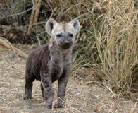 Hyena pup stock photos