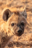 Hyena pup Royalty Free Stock Image