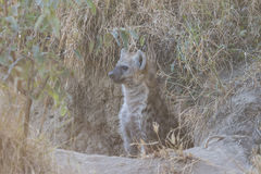 Hyena pup at a den 2 Stock Photos
