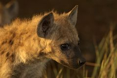 Hyena pup in the early morning. Portrait of a Heyna pup looking at the photographer Stock Photo