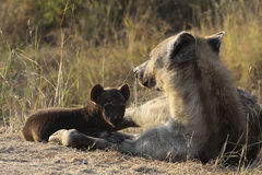 Hyena pup and mother Stock Photo