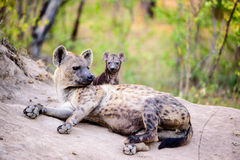 Hyena with pup in Sabi sands Stock Photos