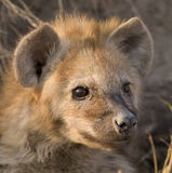 Hyena puppy. Animals / Wildlife; Hyena puppy on guard in field; Focused Stock Photography