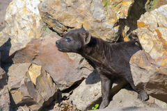 Hyena puppy Stock Photos