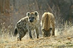 Hyena Pups. Two hyena pups in a field. One is sniffing the ground while the other looks around stock images