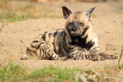 Hyena rayado Fotos de archivo