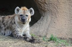 Hyena reclining2 Stock Image