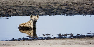 Hyena Relaxing in a Shallow Pond Stock Photography