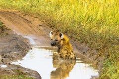 Free Hyena Resting In A Puddle. Masai Mara, Kenya Stock Photography - 117382872