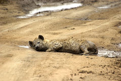 Hyena resting in a puddle Royalty Free Stock Images