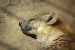 Hyena resting in the sun Stock Photography