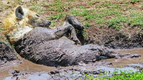 A Hyena rolling in the mud Stock Photos