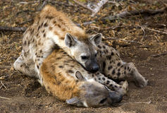 Hyena's Royalty-vrije Stock Foto