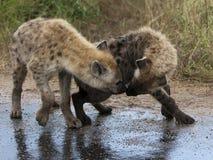 2 hyena's Stock Afbeelding