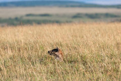 Hyena in the savanna of Africa Stock Image