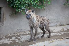 Hyena. The hyena scientific name: Hyaenidae: mammals, medium size, body covered with stripes, social, relying on the developed olfactory foraging animal carrion Stock Image