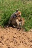 Hyena scratching head in sand royalty free stock photo