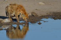 Hyena sediento Fotografía de archivo libre de regalías